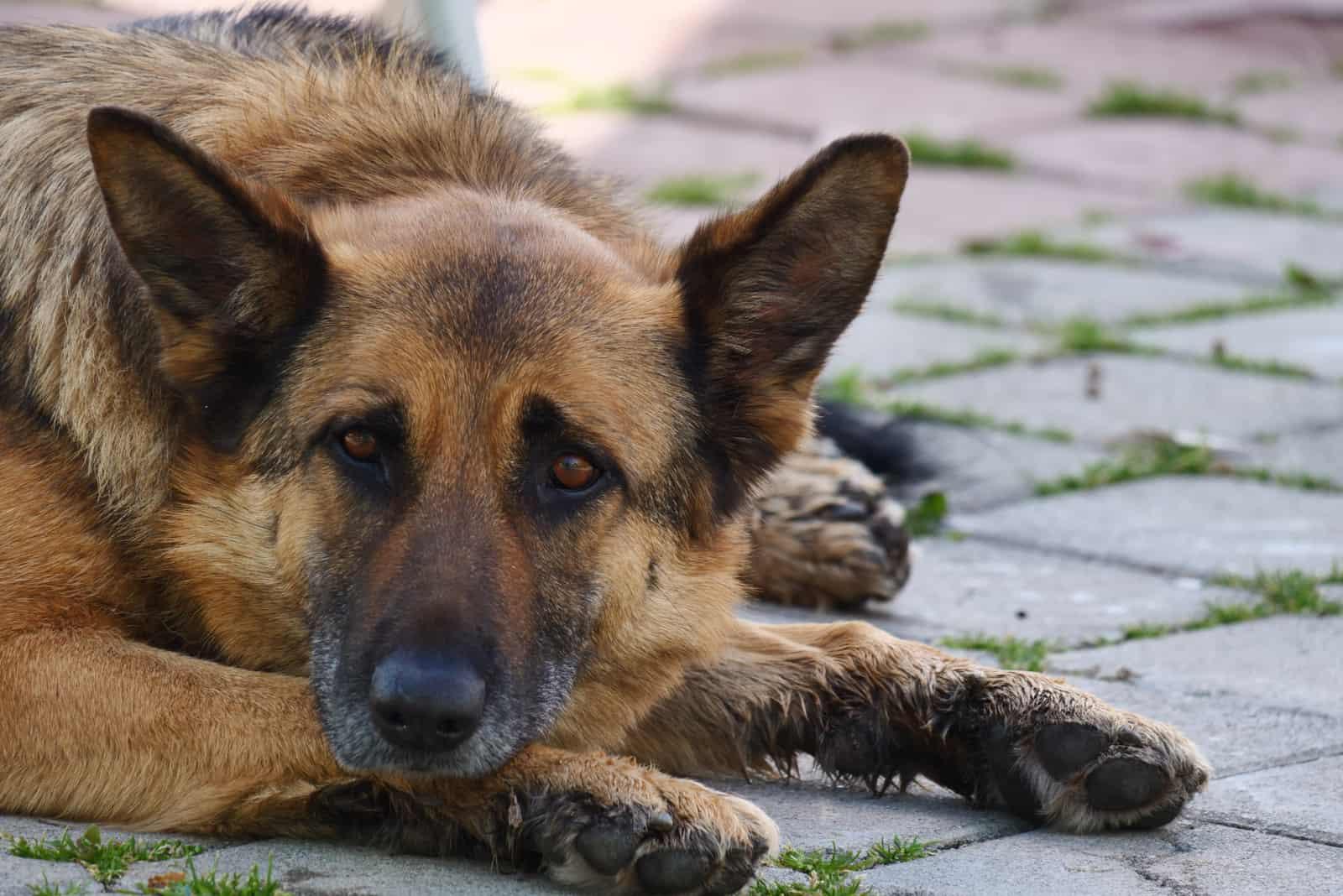 Deutscher Schäferhund hautnah auf dem Boden liegend