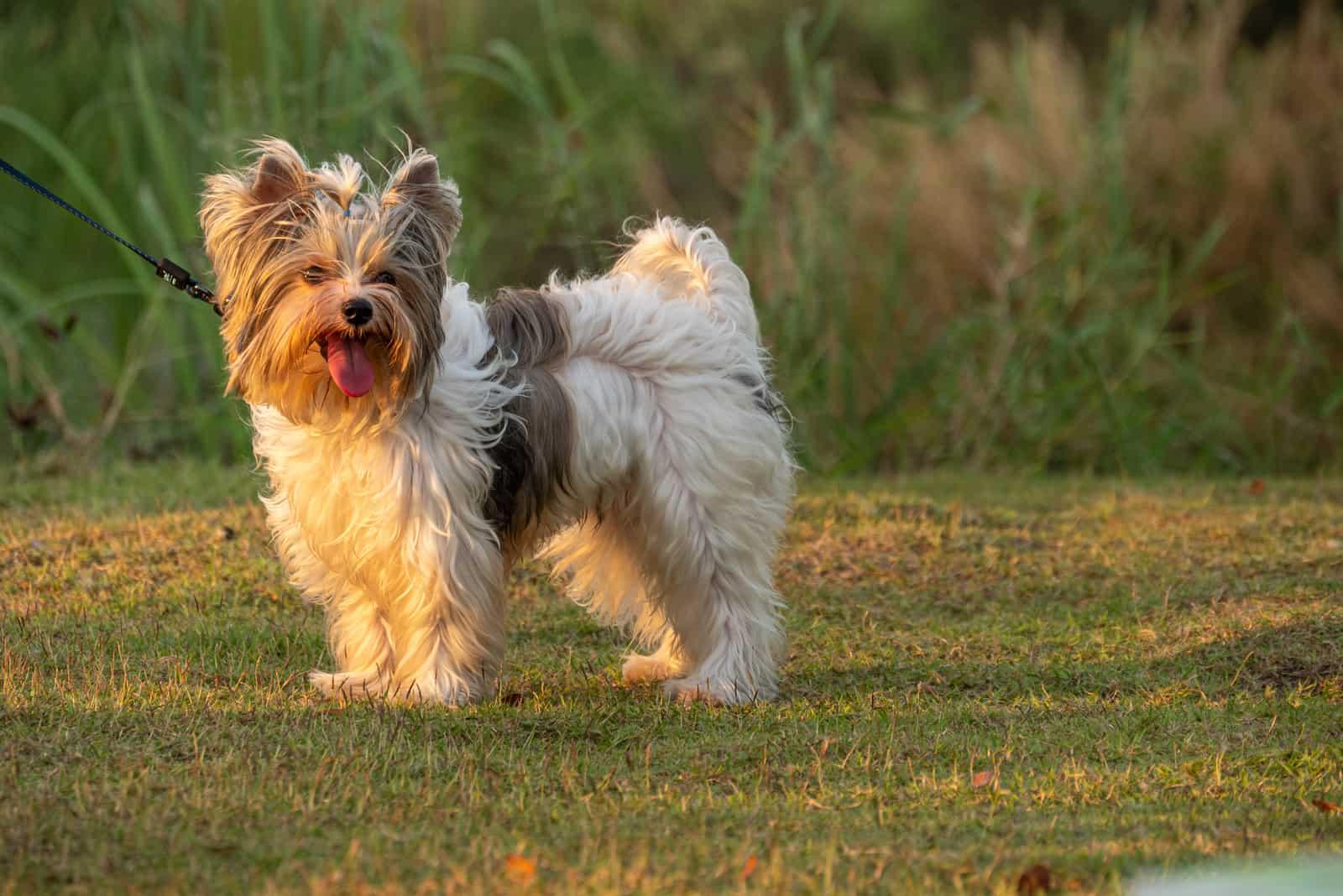 Ein Yorkshier Terrier im Park