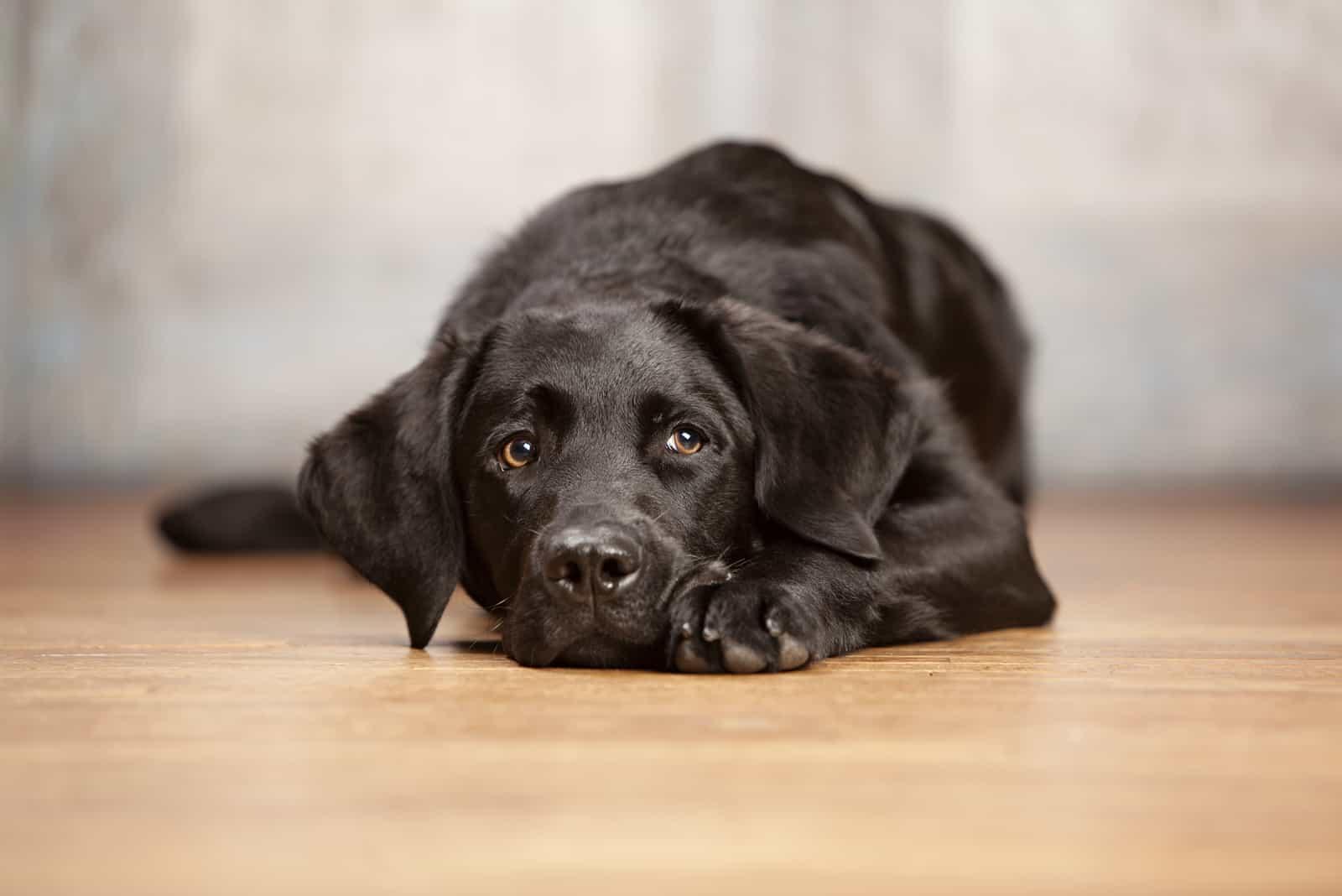Entzückender schwarzer Hund, der auf einem Holzboden liegt