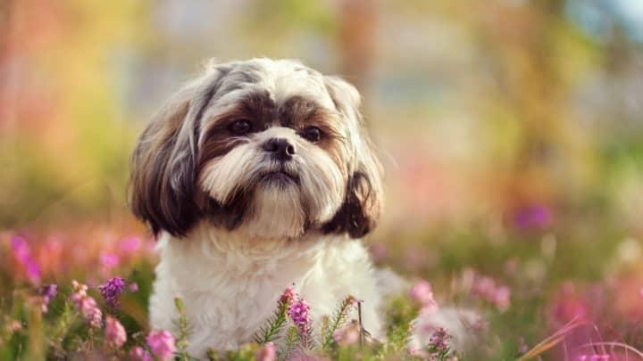 kleiner Shih Tzu Hund in wunderschöner Natur