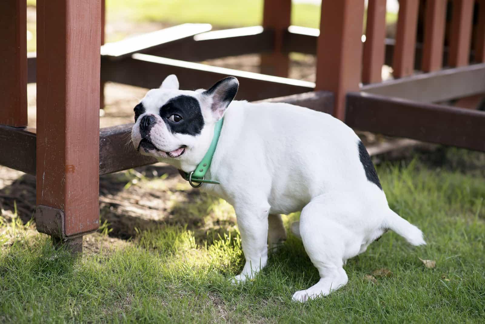 Französische Bulldogge kackt auf Wiese
