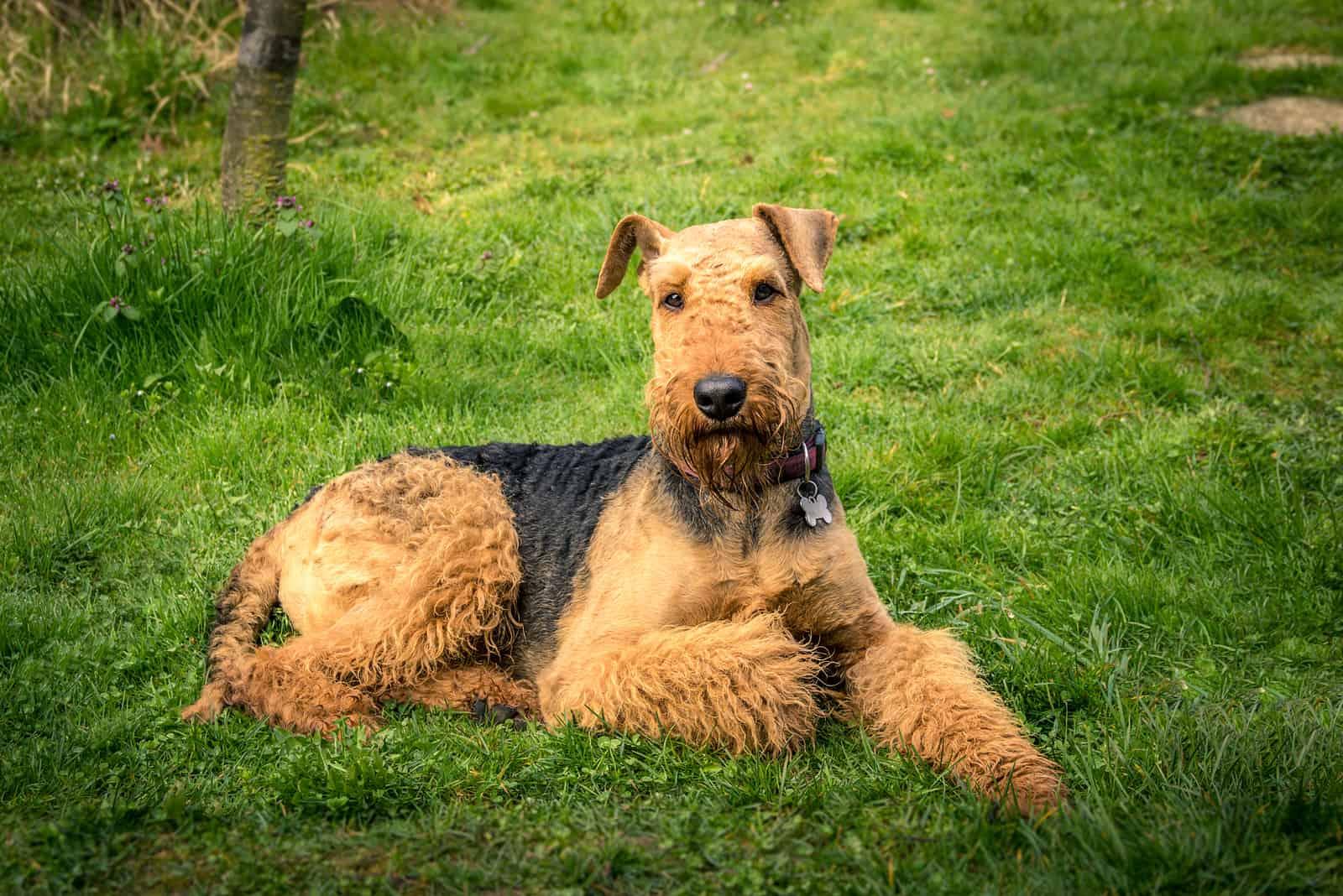 Hund Airedale Terrier im Freien