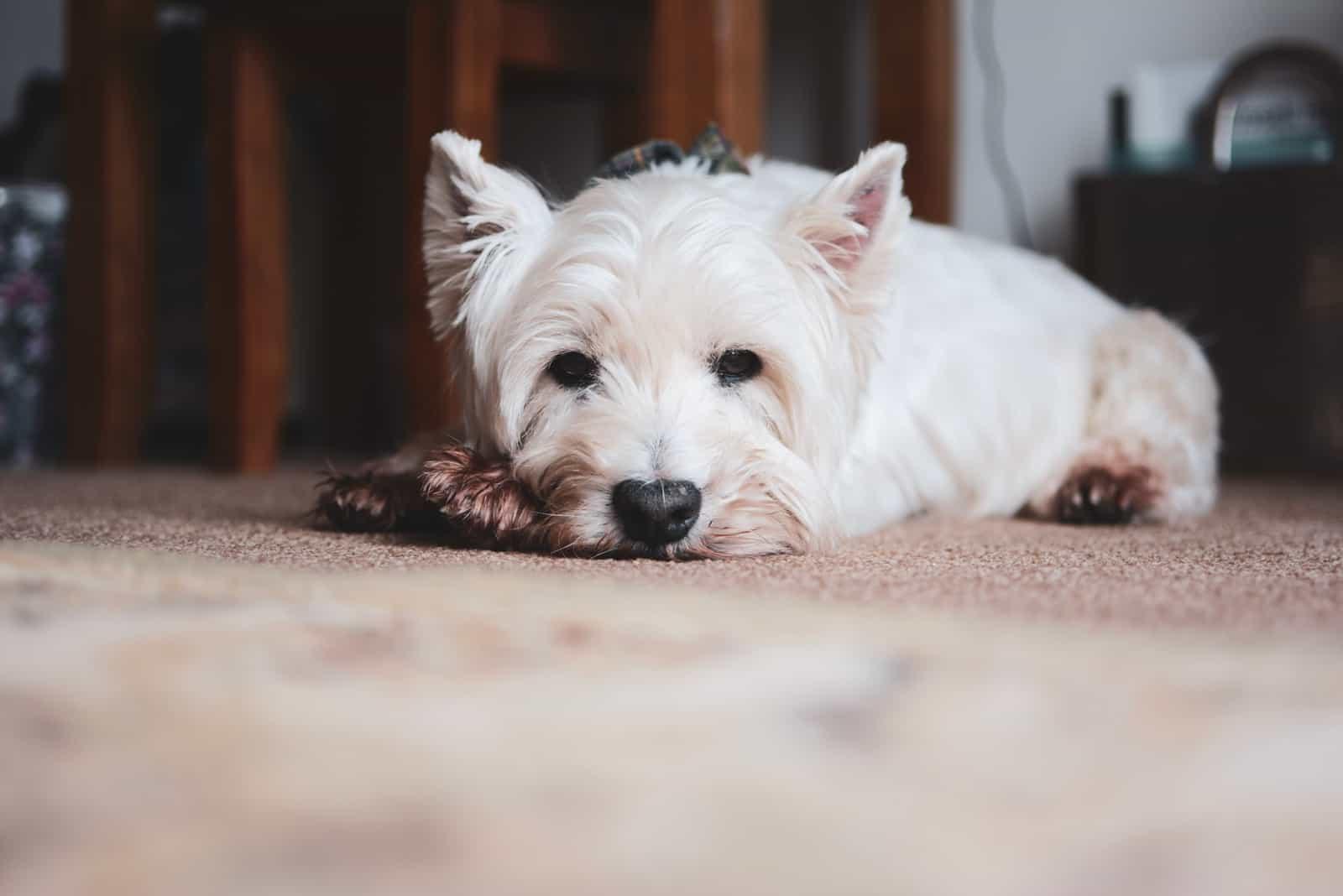 Hund ist müde und liegt auf dem Boden