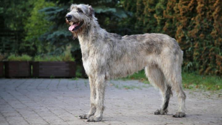 Der Hund der Irish Wolfhound-Rasse steht in der Natur