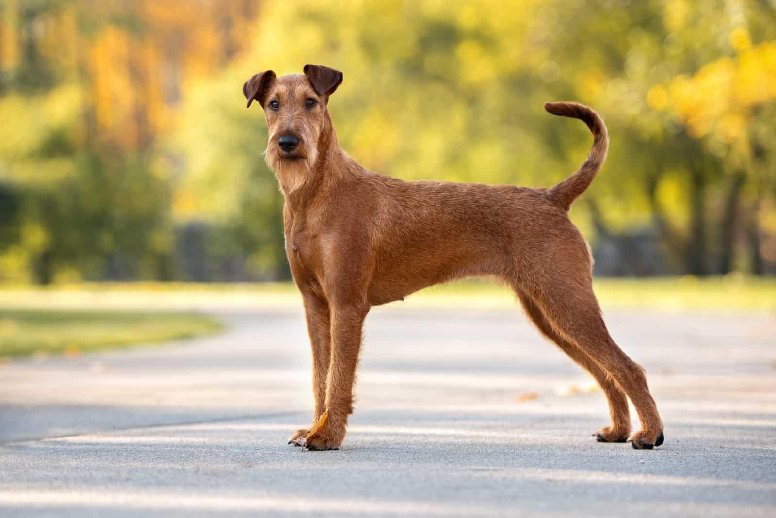 Irish Terrier Hund steht draußen im Park