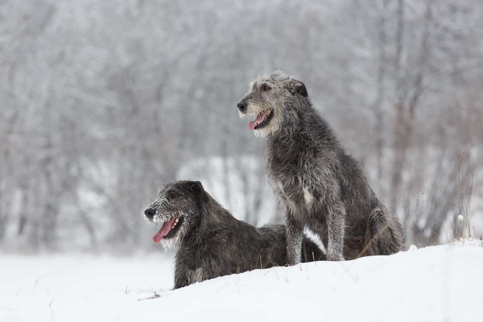 Irish Wolfhound Hunde sitzen im Winterwald