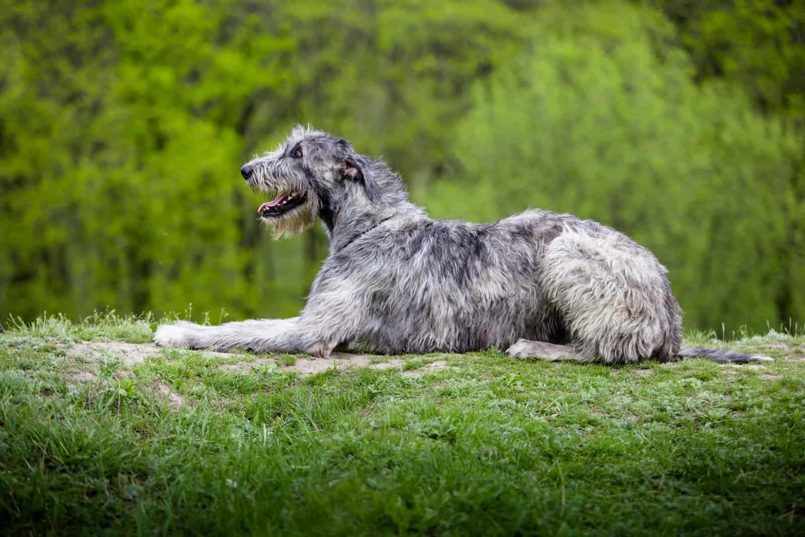 Irish Wolfhound liegt auf einem grünen Gras