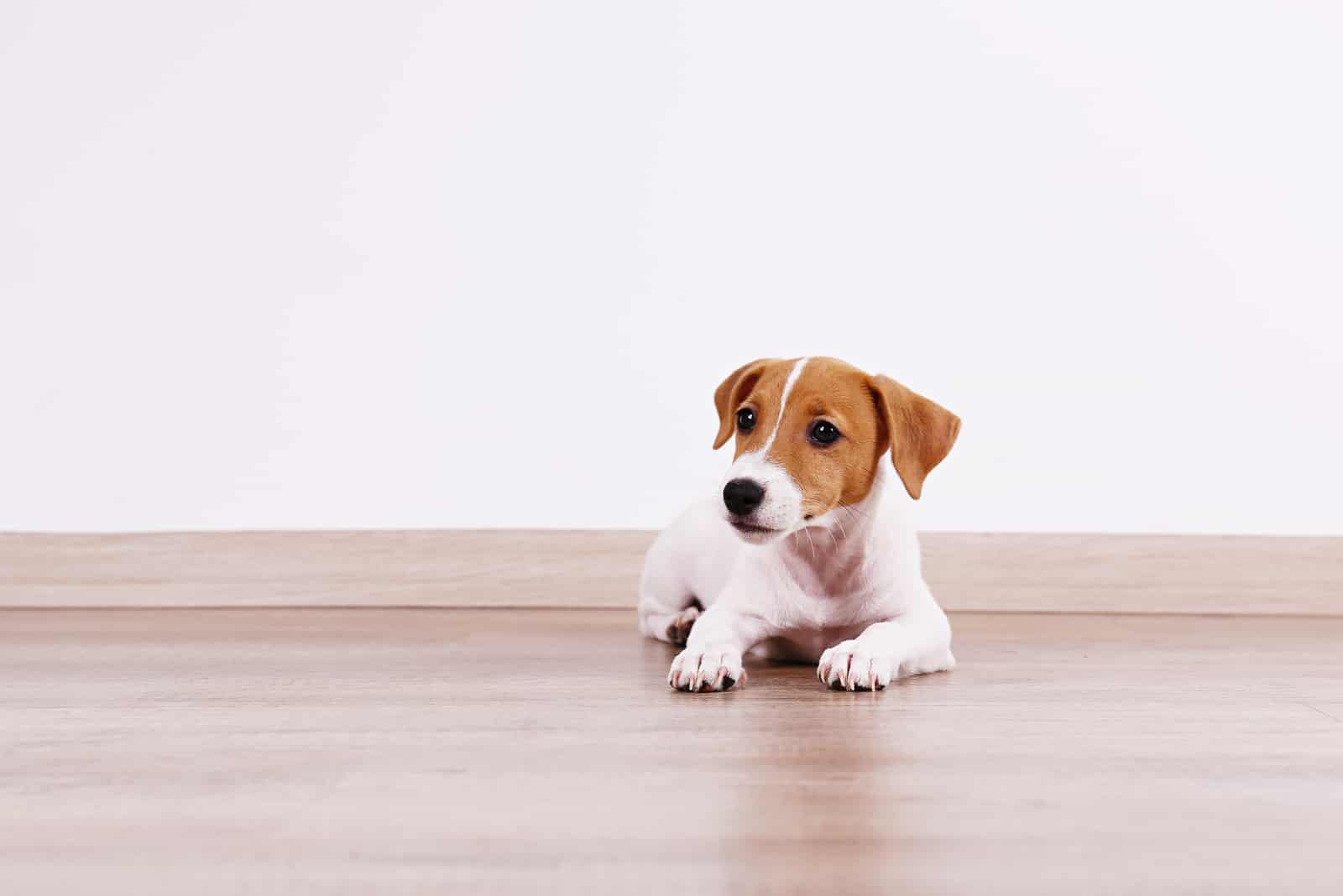 Jack Russel Terrier Welpe mit gefalteten Ohren