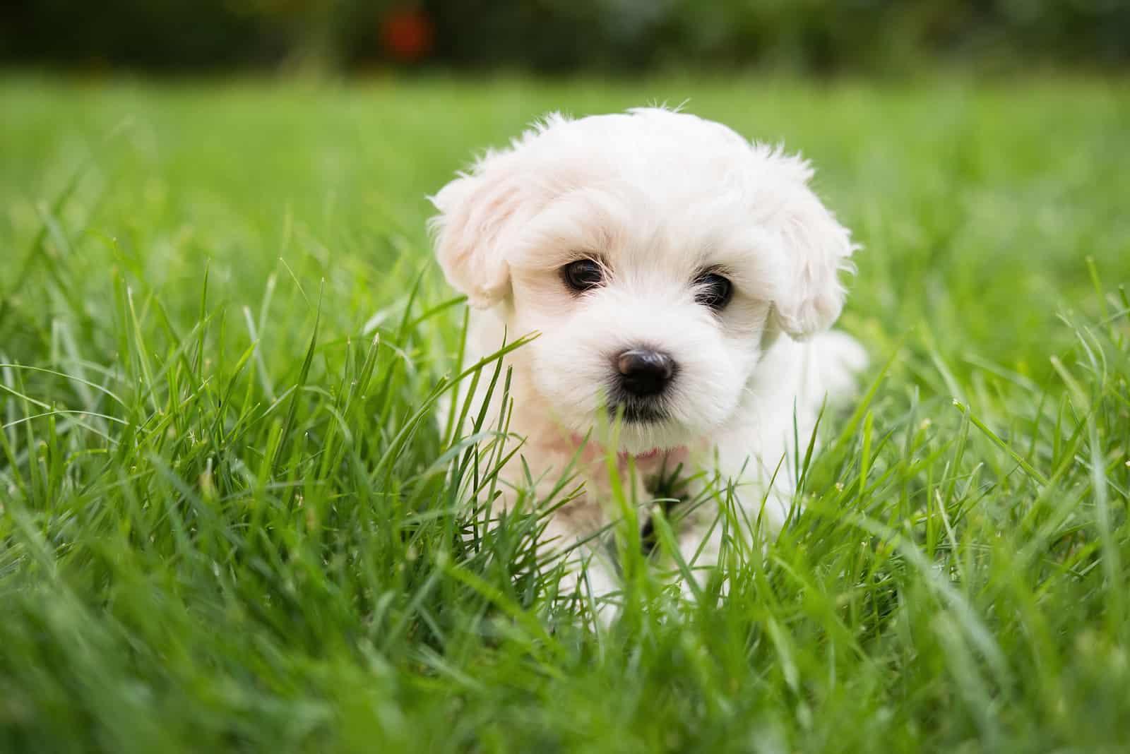 Kleiner süßer Welpe des Malteserhundes, der das Gras legt