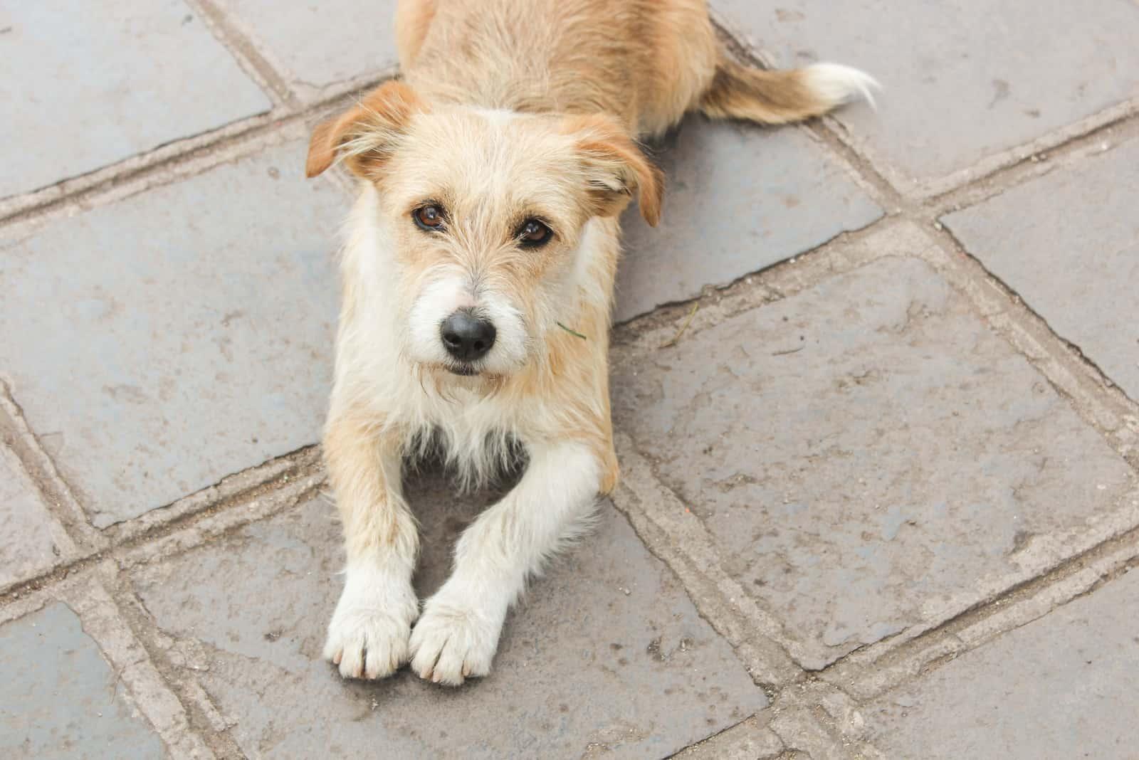Kromfohrländer Hund am Boden liegend
