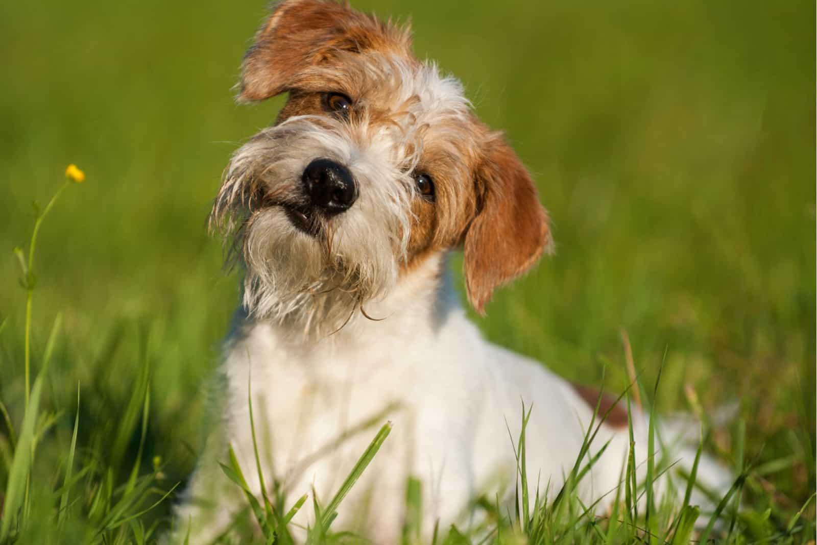 Kromfohrländer Hund auf einer Wiese