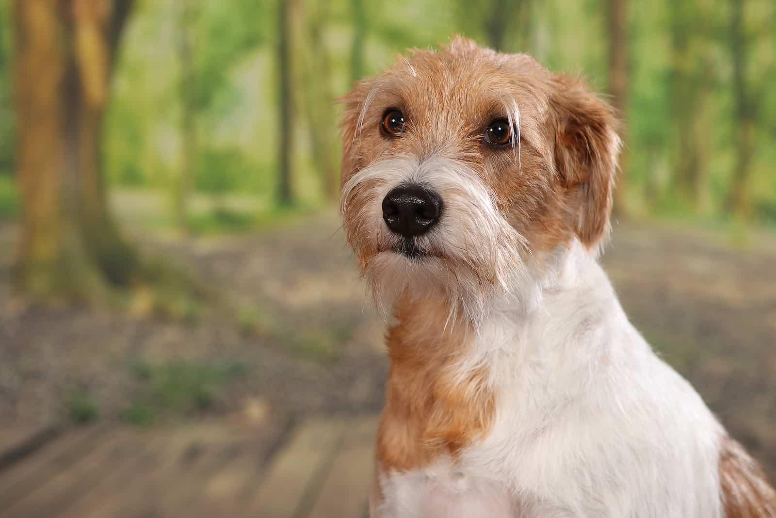 Kromfohrländer-Hund im Wald