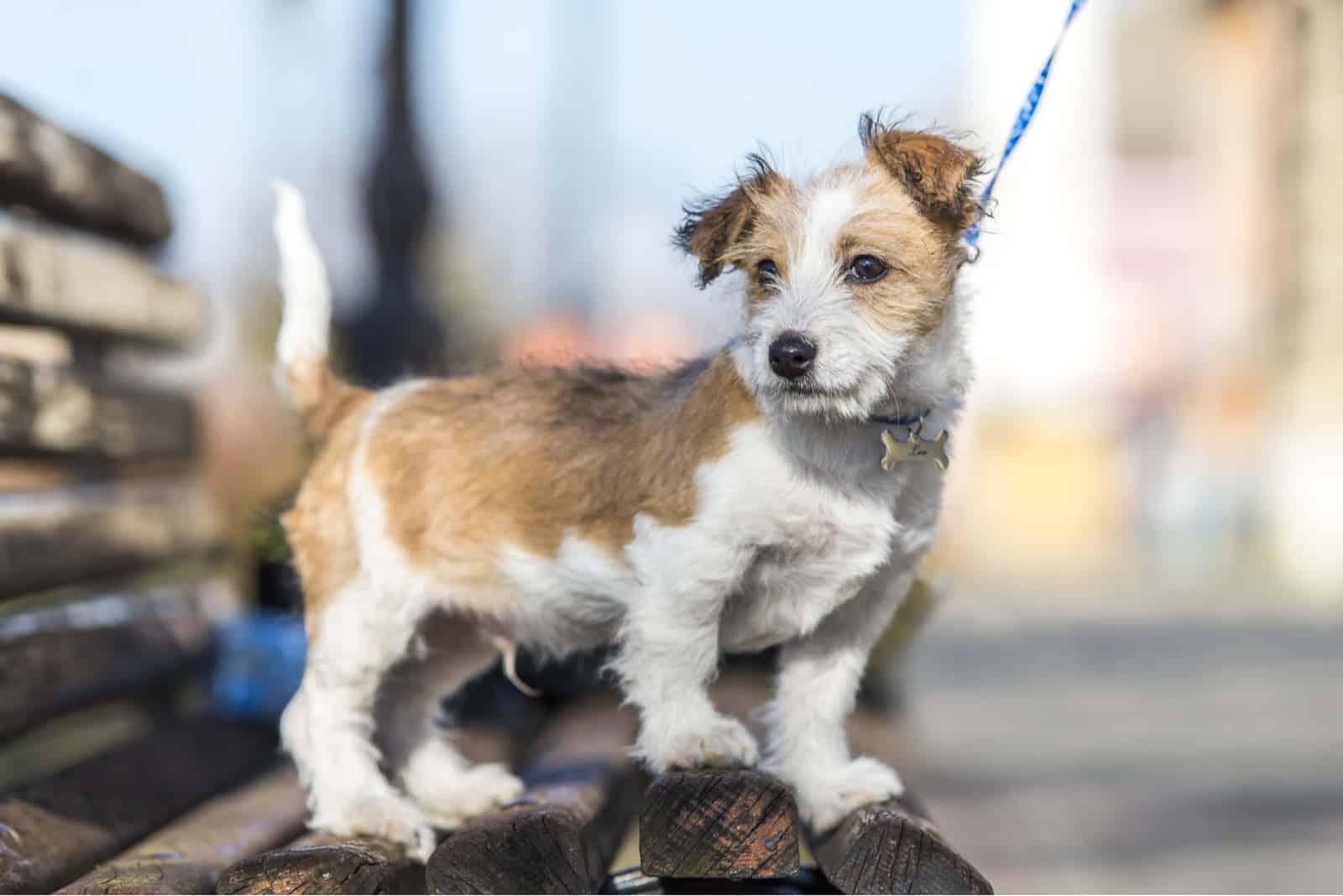 Kromfohrländer Hundewelpe posiert auf Parkbank