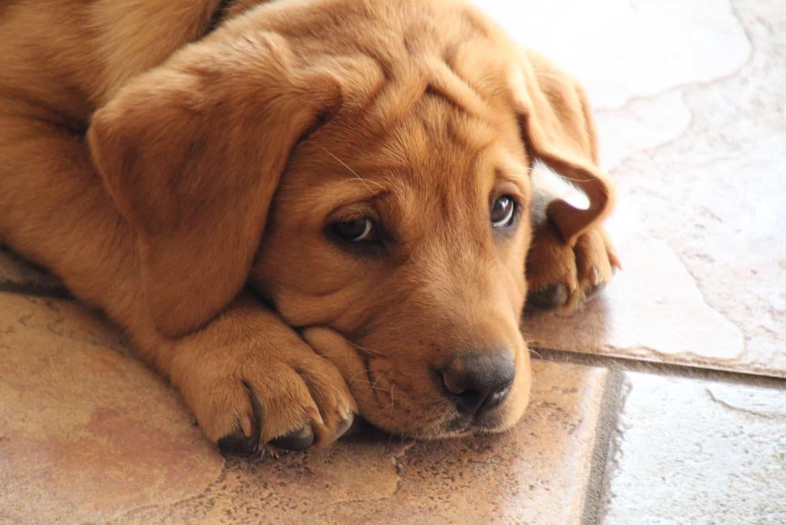 Labrador Retriever Welpe liegt auf glänzendem braunem Fliesenboden