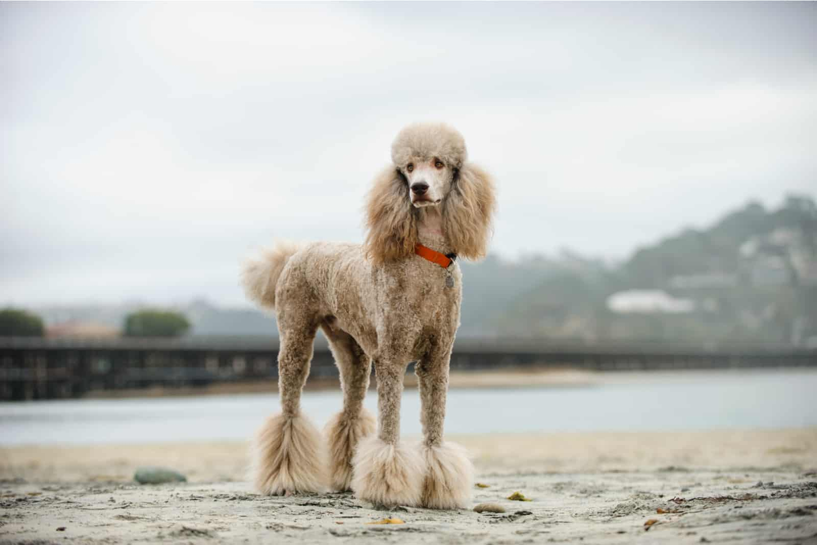 Pudelhundeportrait am Strand