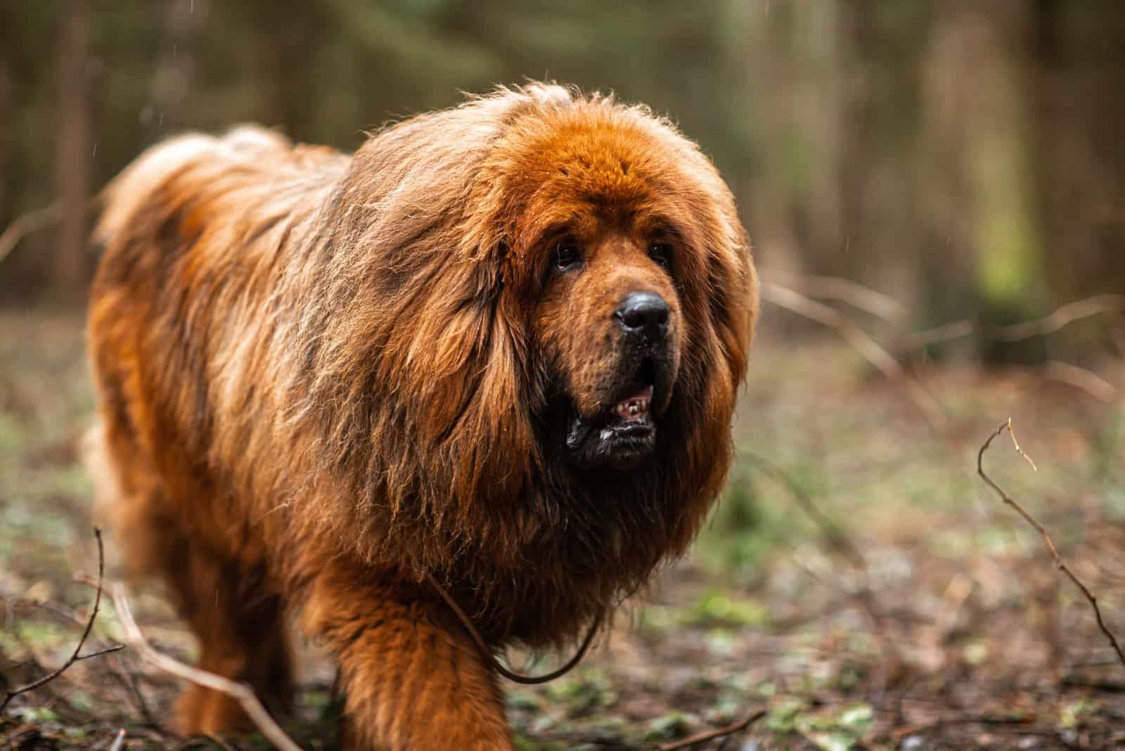 Roter tibetischer Mastiff für einen Waldspaziergang