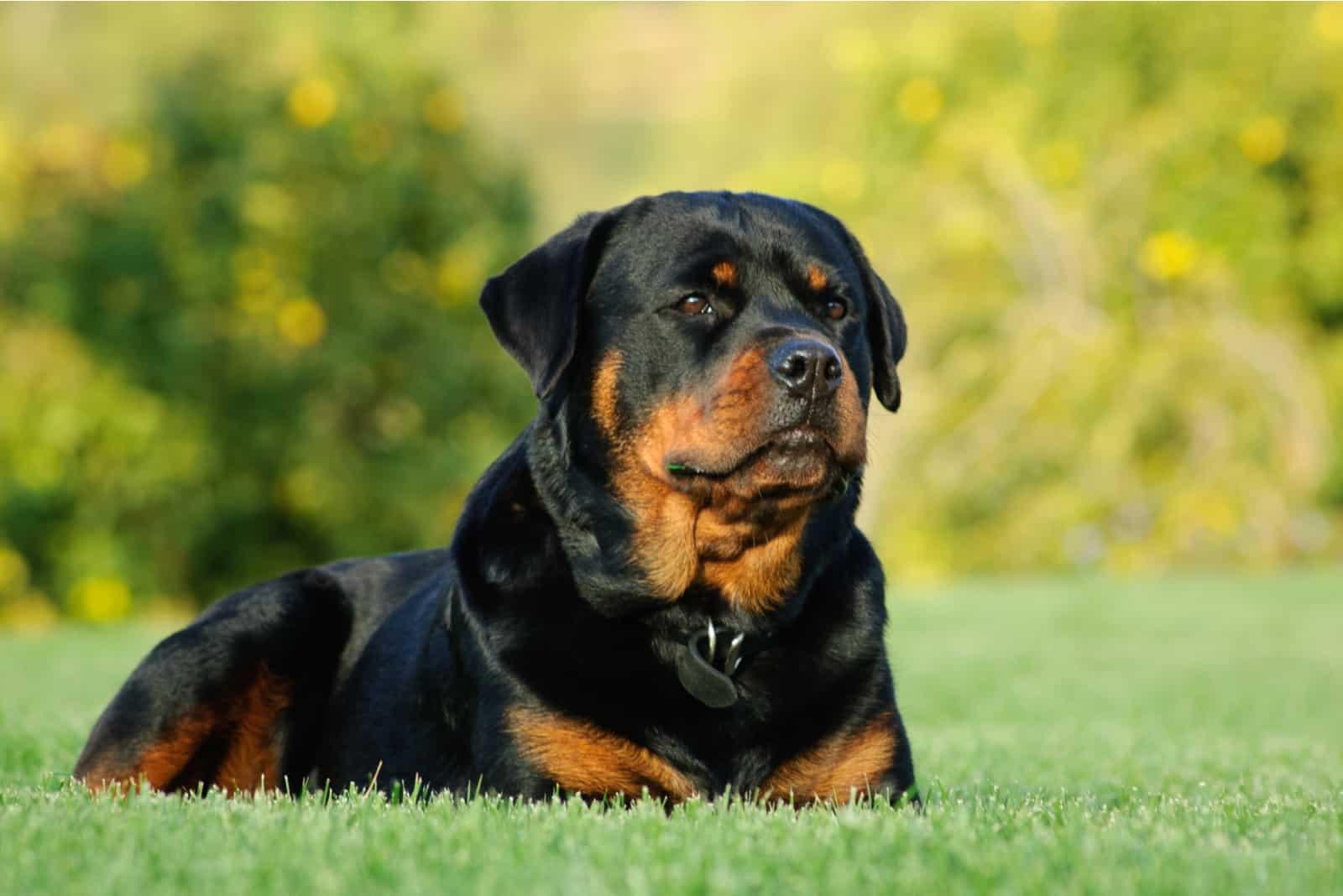 Rottweiler-Hundeporträt im Freien, das sich im grünen Gras hinlegt