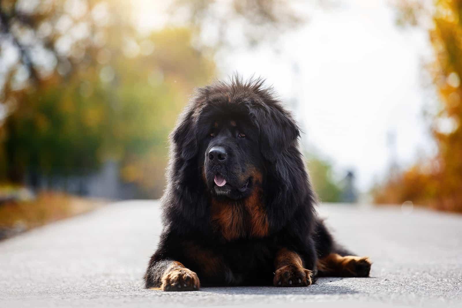 Schöner tibetischer Mastiff, der auf der Straße liegt