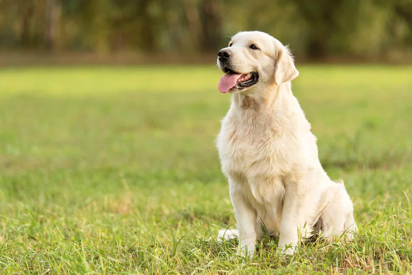 Schönheit Golden Retriever Hund im Park