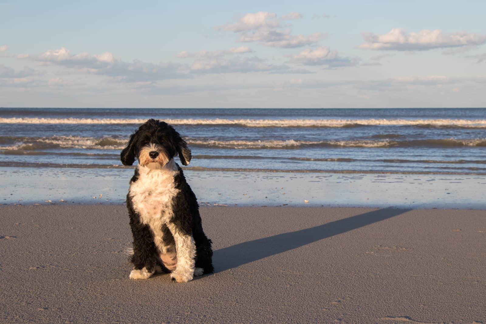 Schwarz-weißer portugiesischer Wasserhund, der am Strand sitzt