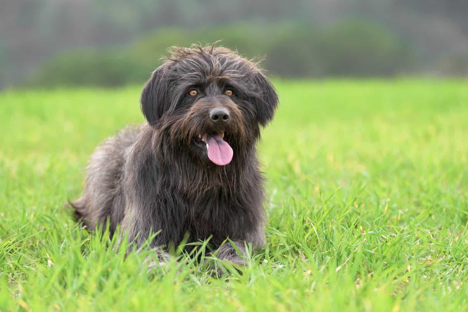 Schwarzer katalanischer Schäferhund im Freien auf einem Feld mit Gras