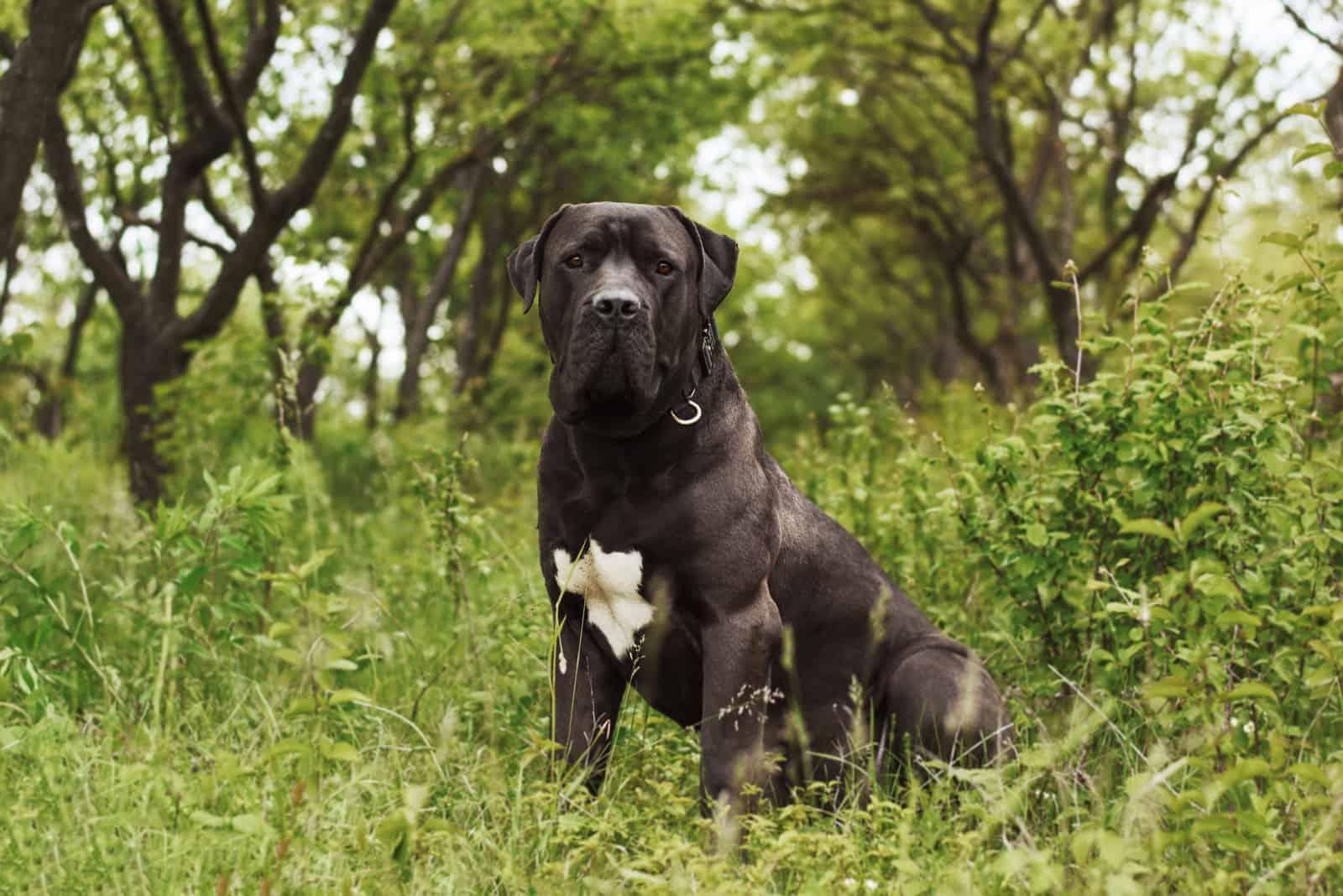 Südafrikanischer Boerboel-Doggehund