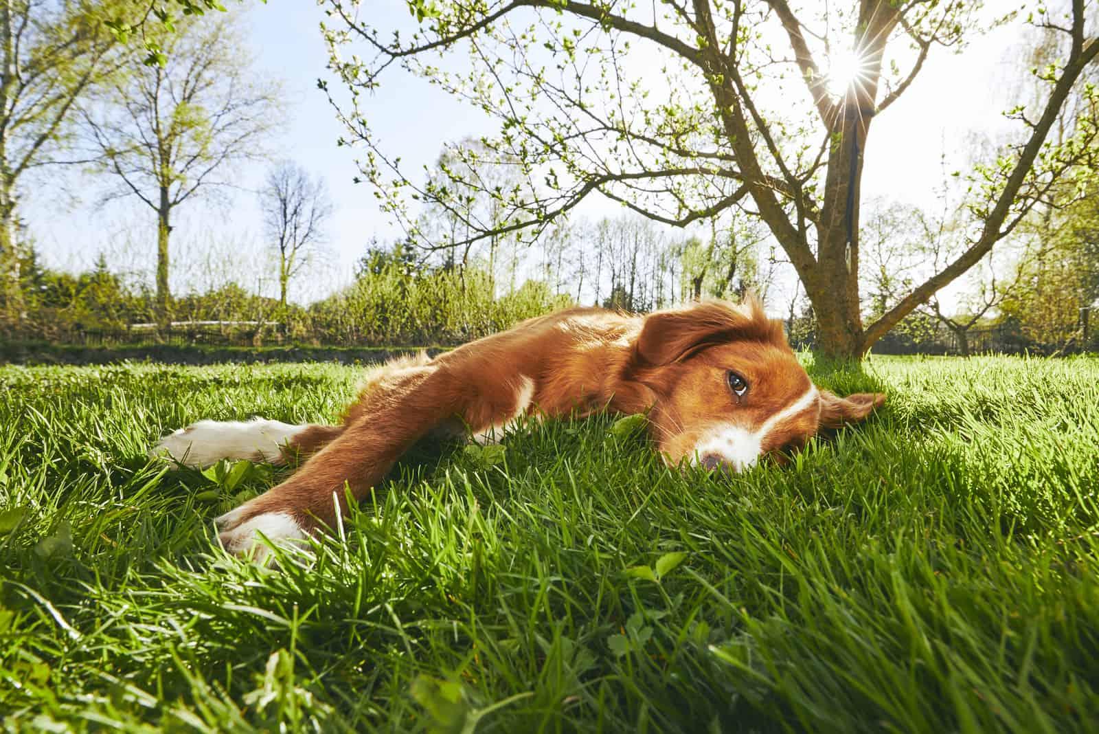 Süßer Hund, der während des Sonnenuntergangs unter einem Baum im Garten ruht