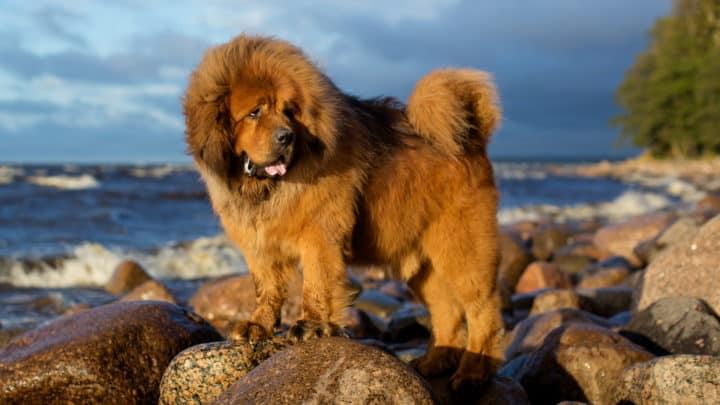 Tibetischer Mastiff: Rasseportrait