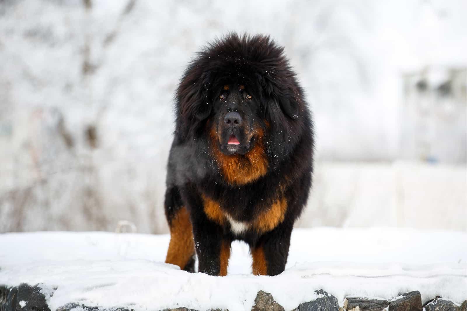 Wunderschöner tibetischer Mastiff im Schnee