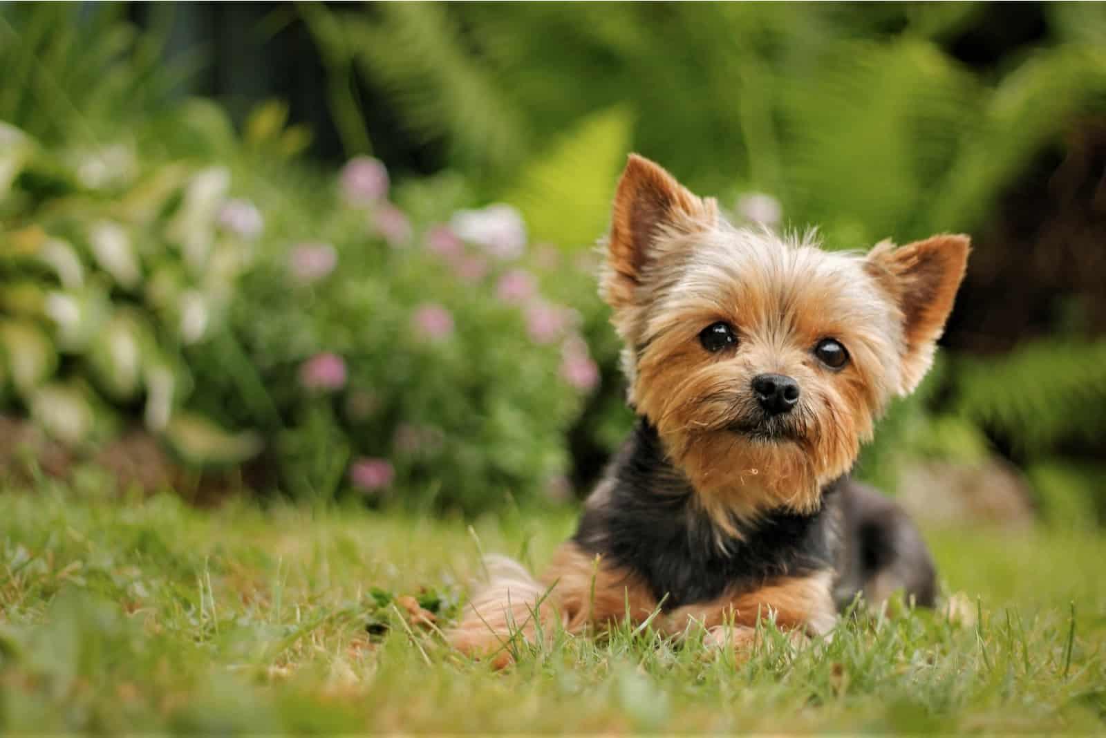 Yorkshire-Terrier-Welpe, der auf dem Parkgras liegt