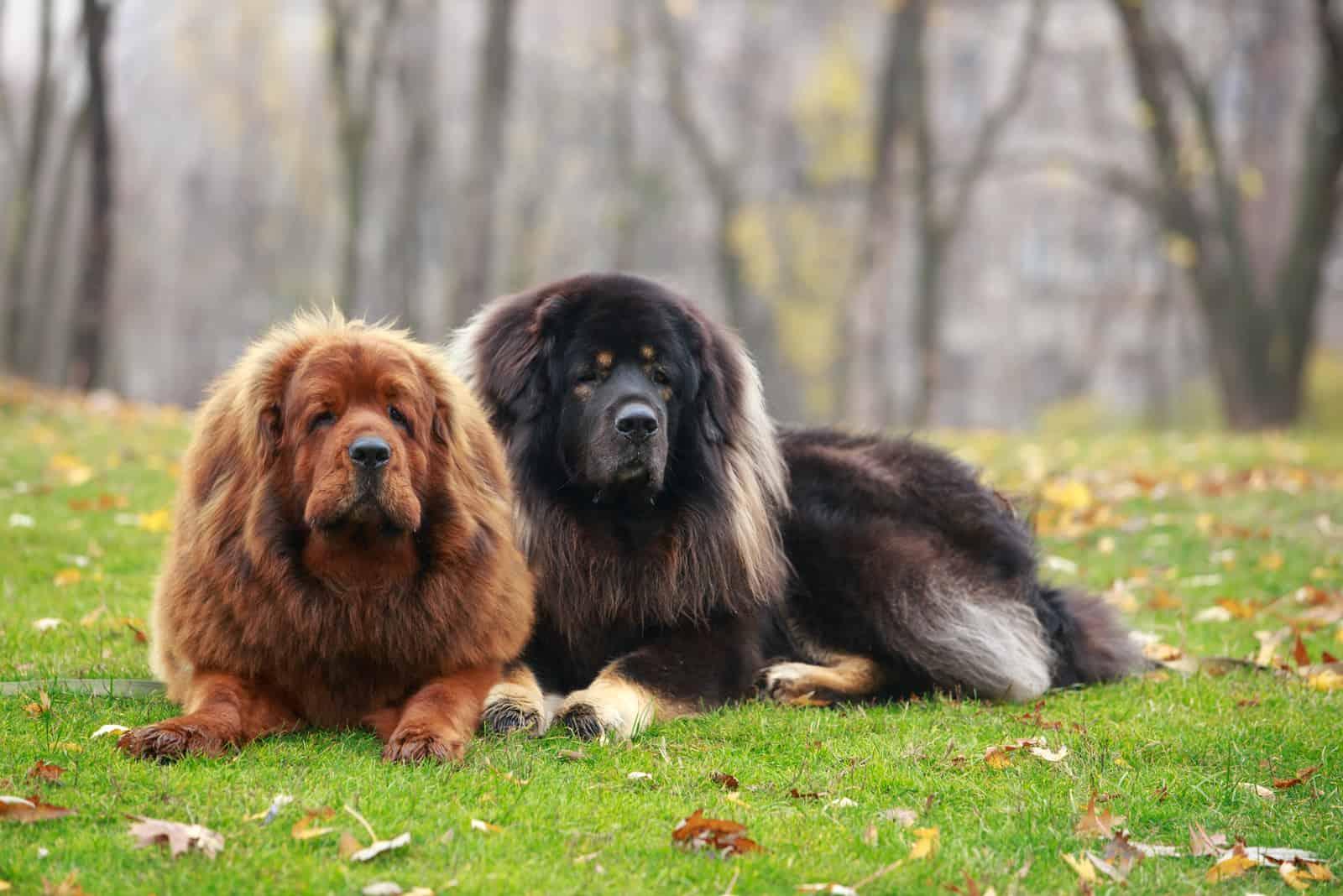 Zwei Hunde züchten tibetischen Mastiff auf dem Gras
