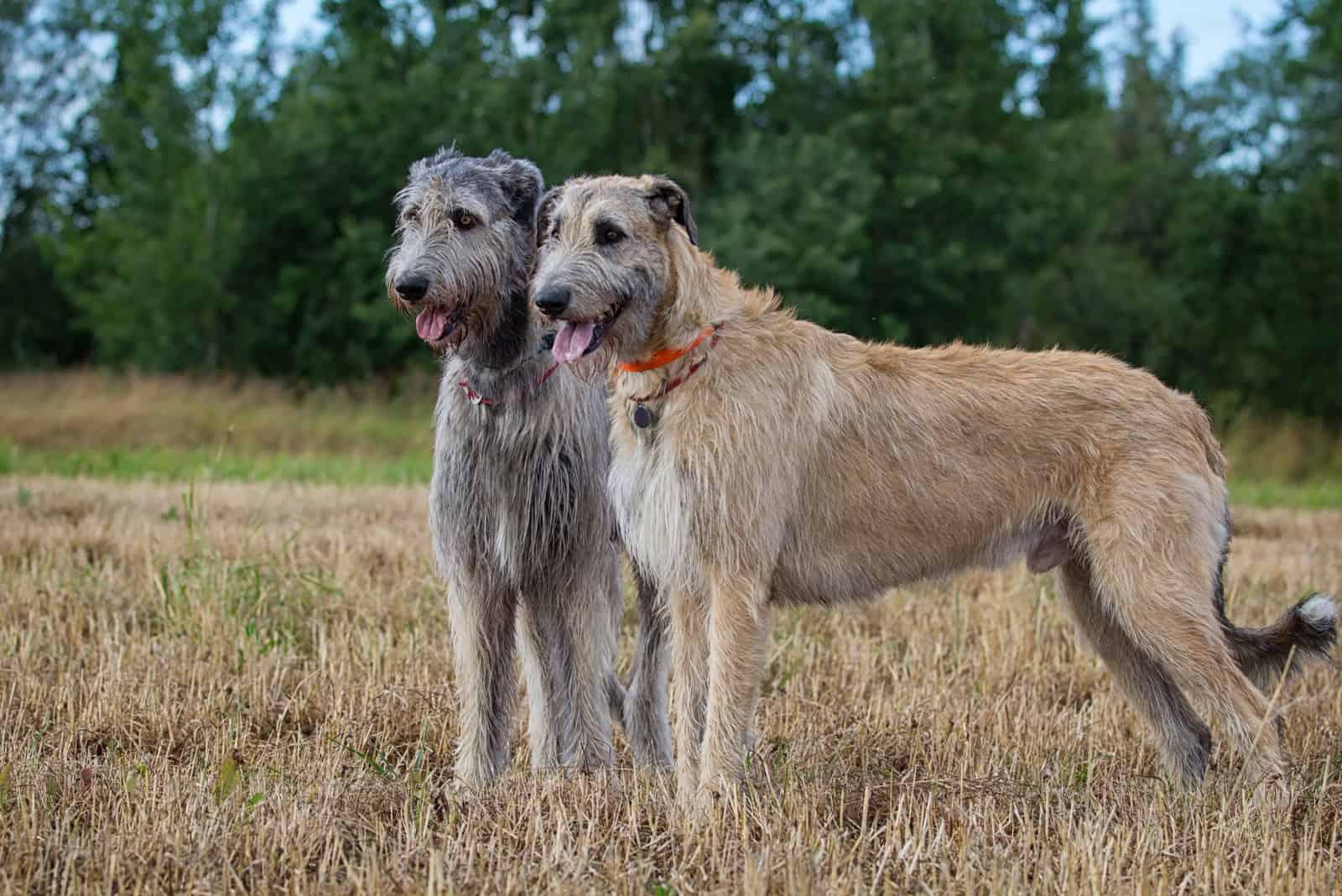 Zwei irische Wolfshunde am Feld