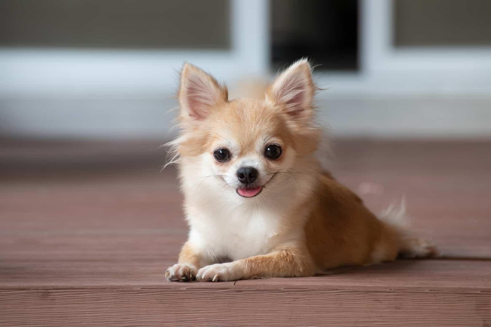 brauner Chihuahua auf dem Boden liegend