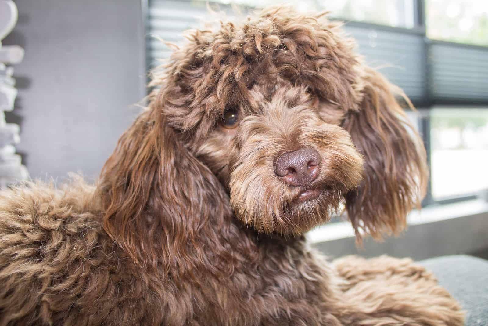 brauner schöner Maltipoo-Hund