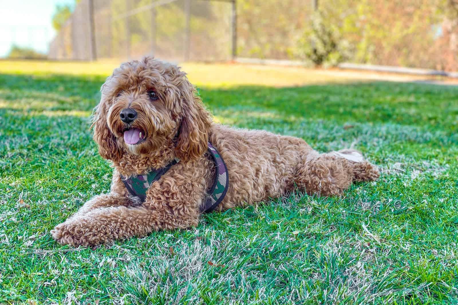 entzückender Cavapoo-Hund, der auf dem Gras liegt
