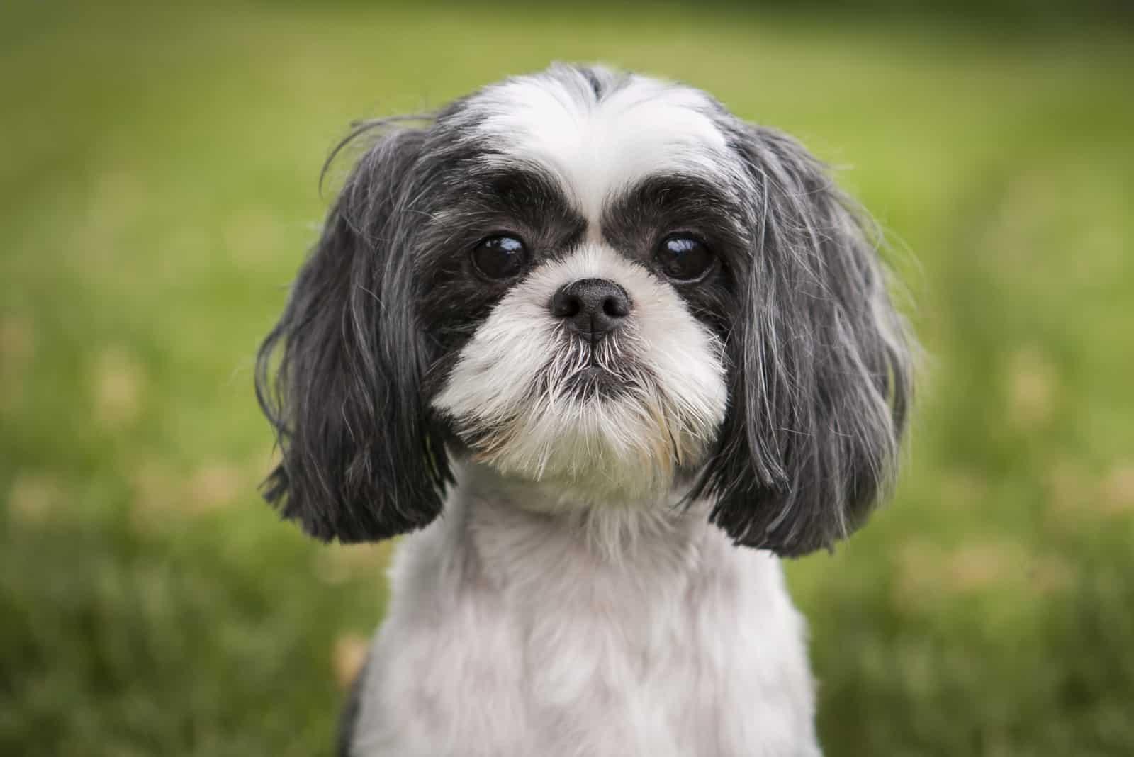 entzückender kleiner Shih Tzu Hund