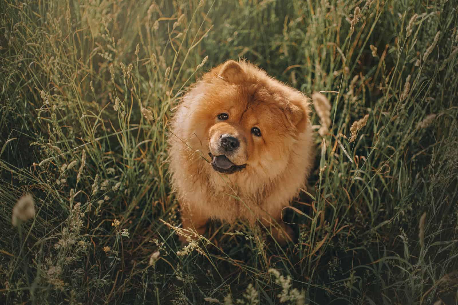 glücklicher Chow-Chow-Hund, der draußen im langen Gras sitzt