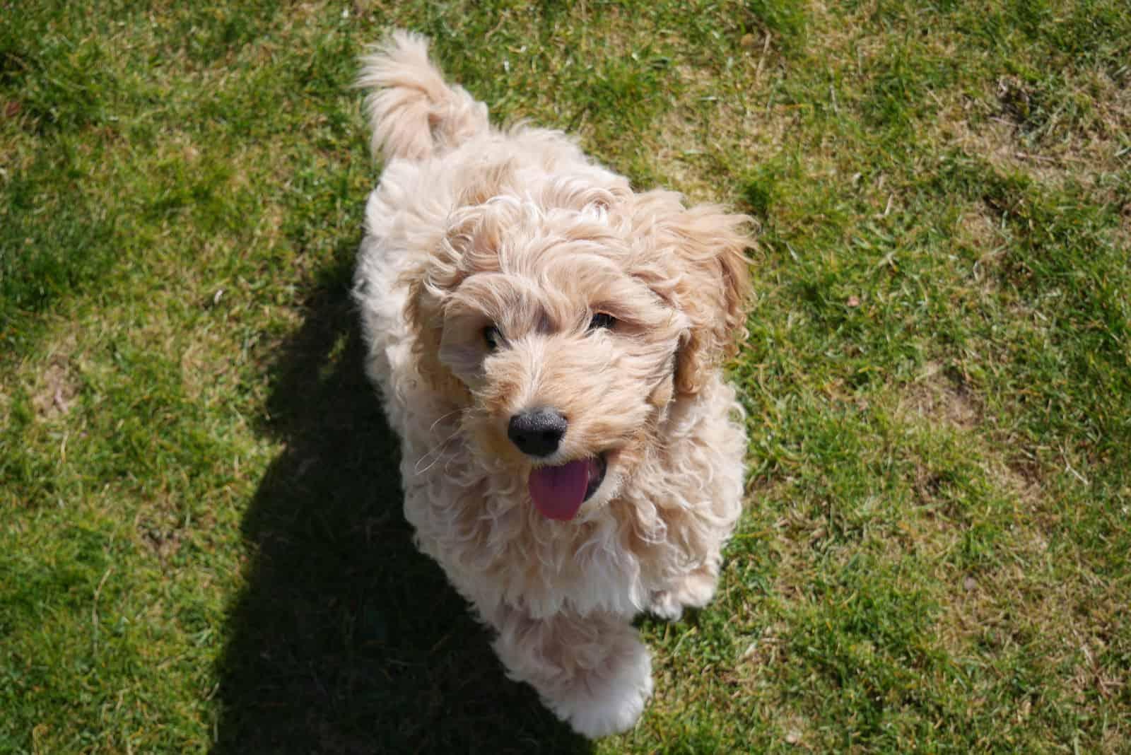 glücklicher süßer Cavapoo-Hund +auf dem Gras