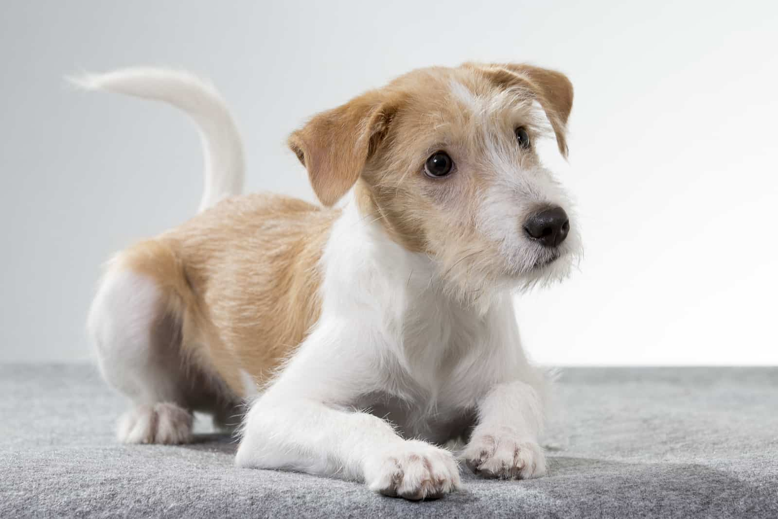 schöner Kromfohrländer Hund