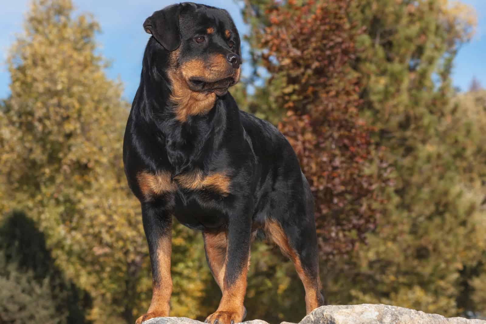 schöner Rottweiler-Hund, der in der Natur steht