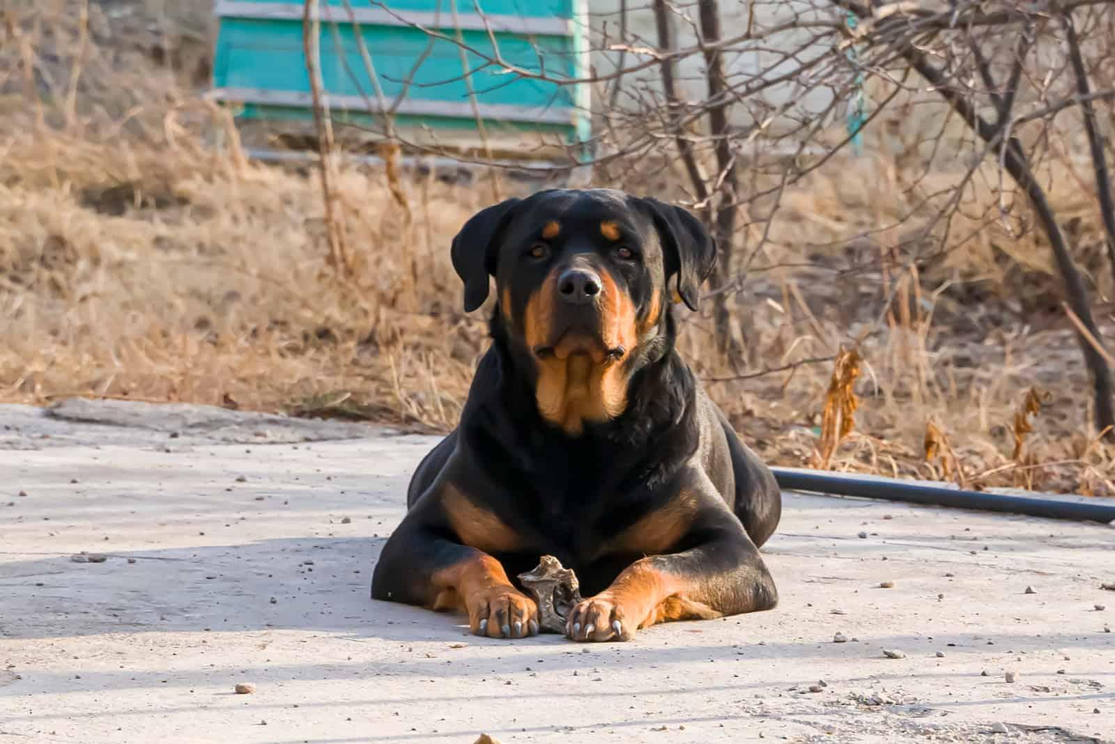 schöner Rottweiler Hund im Freien