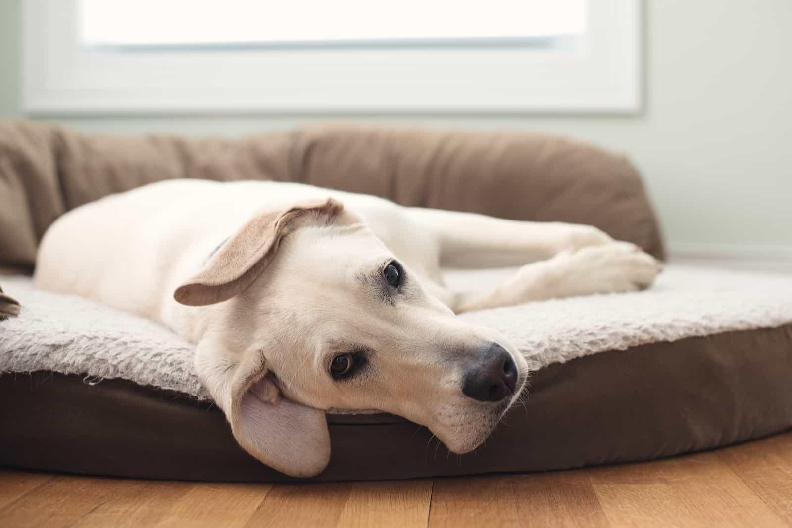 schöner weißer Hund liegt in seinem Bett
