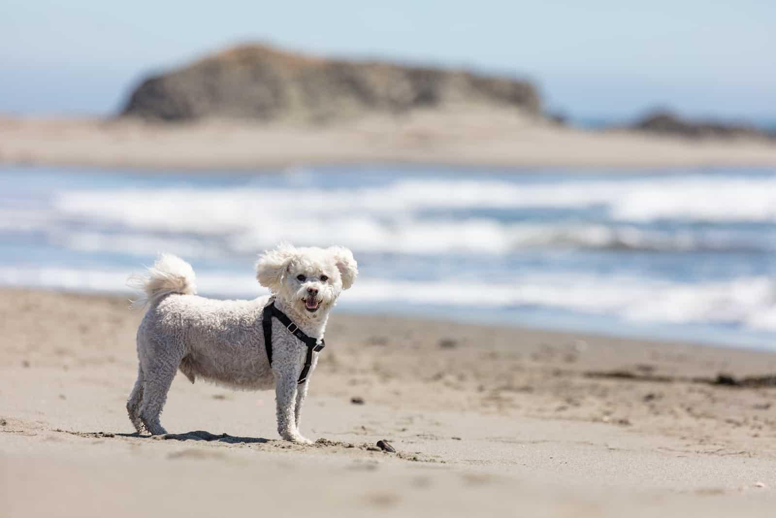 weißes Maltipoo am Strand